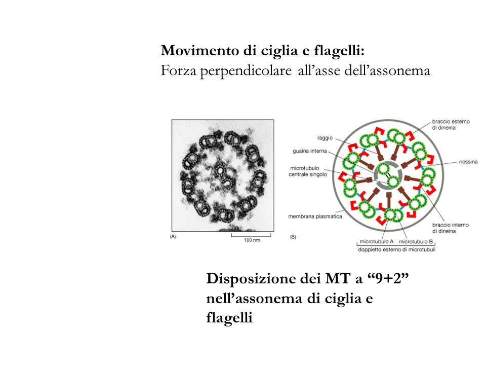 Movimento di ciglia e flagelli: