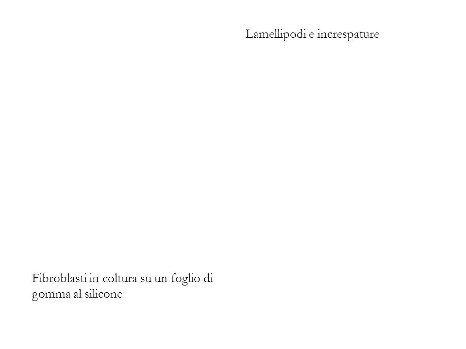 Lamellipodi e increspature
