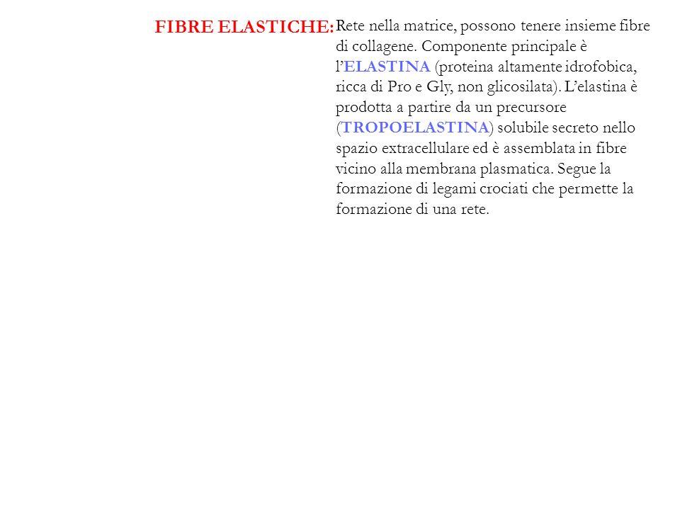 FIBRE ELASTICHE: