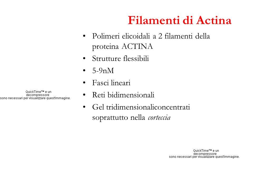 Filamenti di Actina Polimeri elicoidali a 2 filamenti della proteina ACTINA. Strutture flessibili.