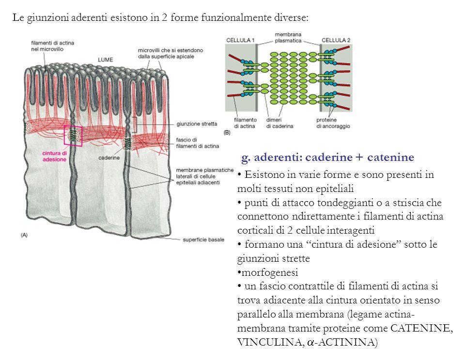 g. aderenti: caderine + catenine