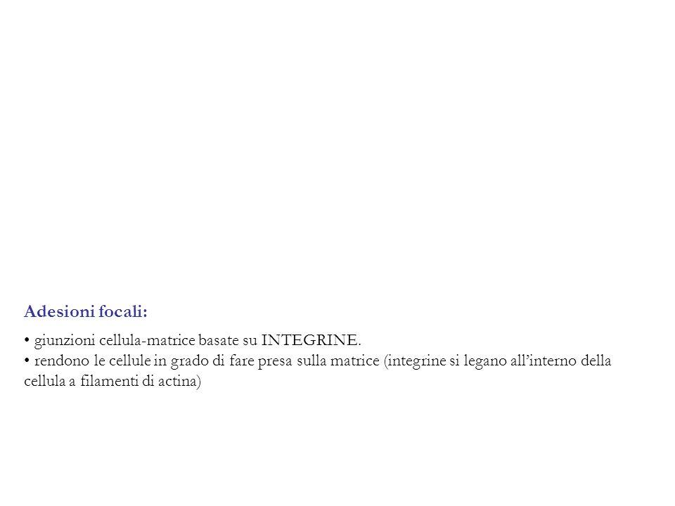 Adesioni focali: giunzioni cellula-matrice basate su INTEGRINE.