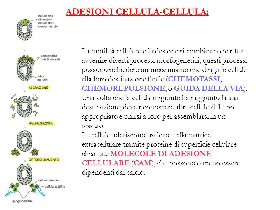 ADESIONI CELLULA-CELLULA: