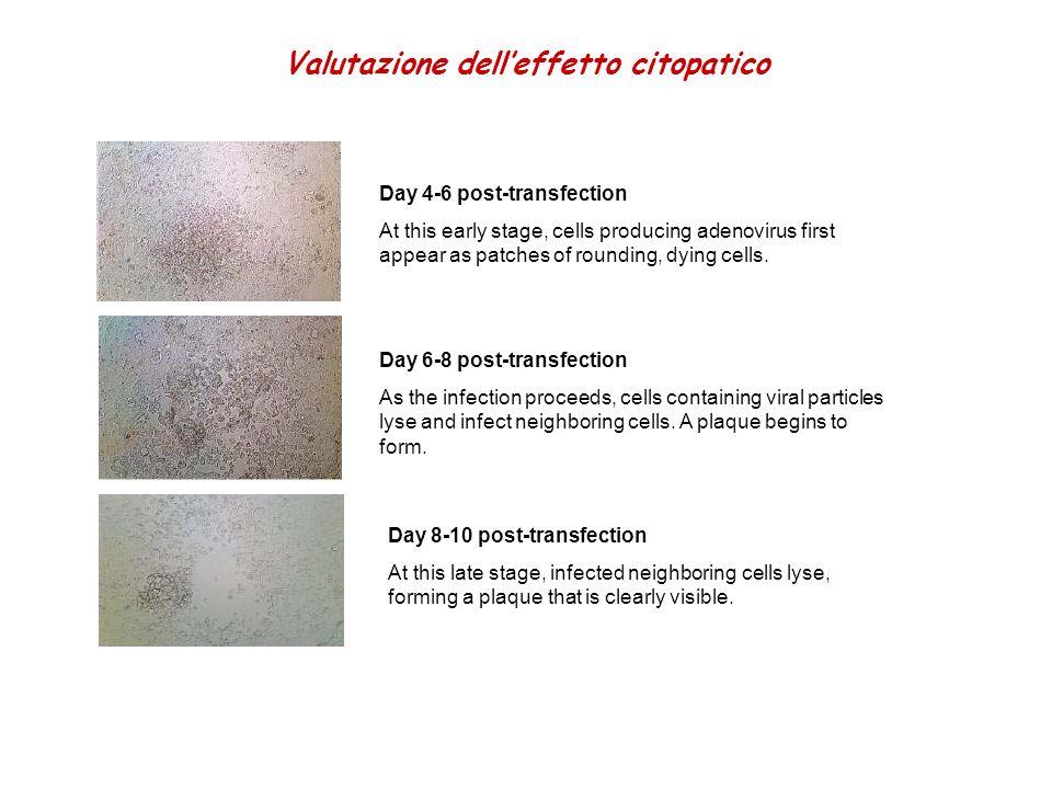 Valutazione dell'effetto citopatico