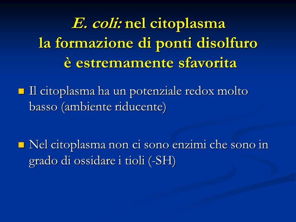 E. coli: nel citoplasma la formazione di ponti disolfuro è estremamente sfavorita