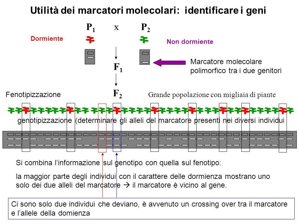 Utilità dei marcatori molecolari: identificare i geni