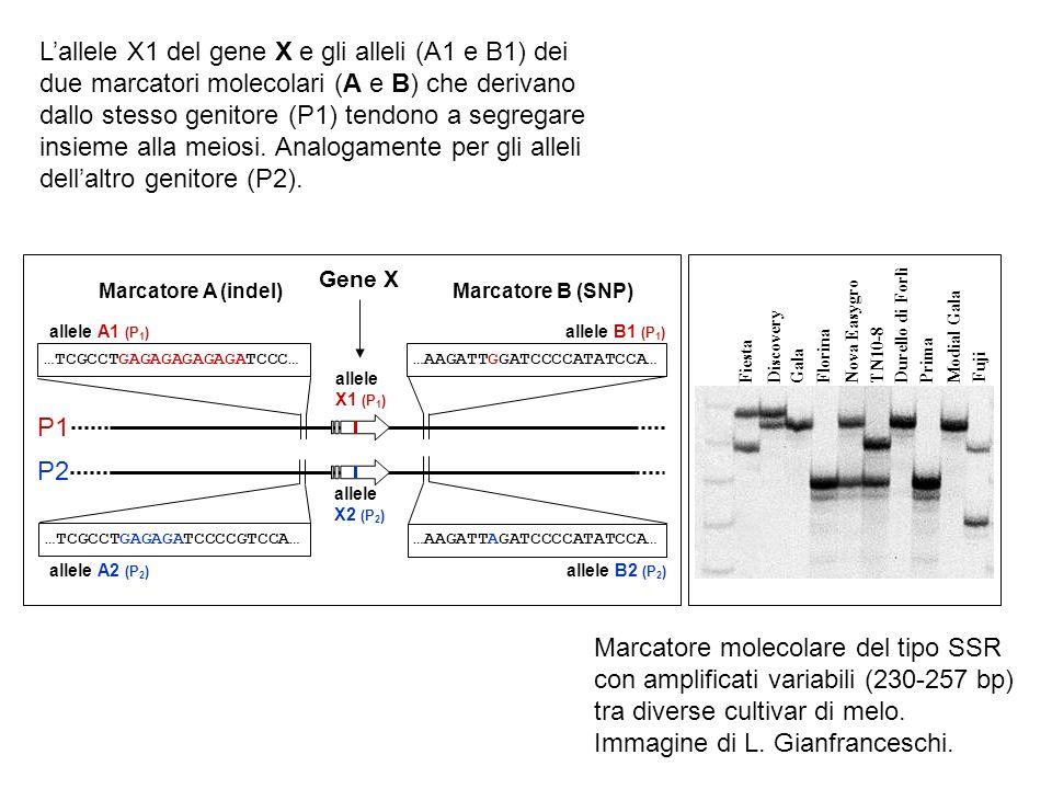 L'allele X1 del gene X e gli alleli (A1 e B1) dei due marcatori molecolari (A e B) che derivano dallo stesso genitore (P1) tendono a segregare insieme alla meiosi. Analogamente per gli alleli dell'altro genitore (P2).