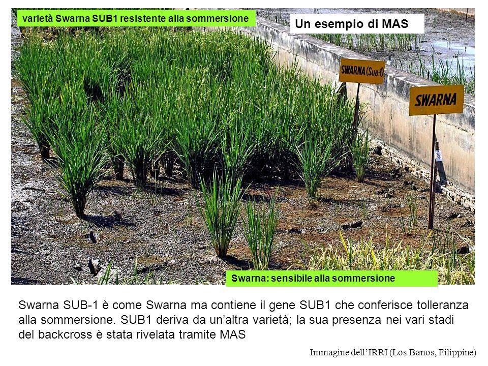 varietà Swarna SUB1 resistente alla sommersione