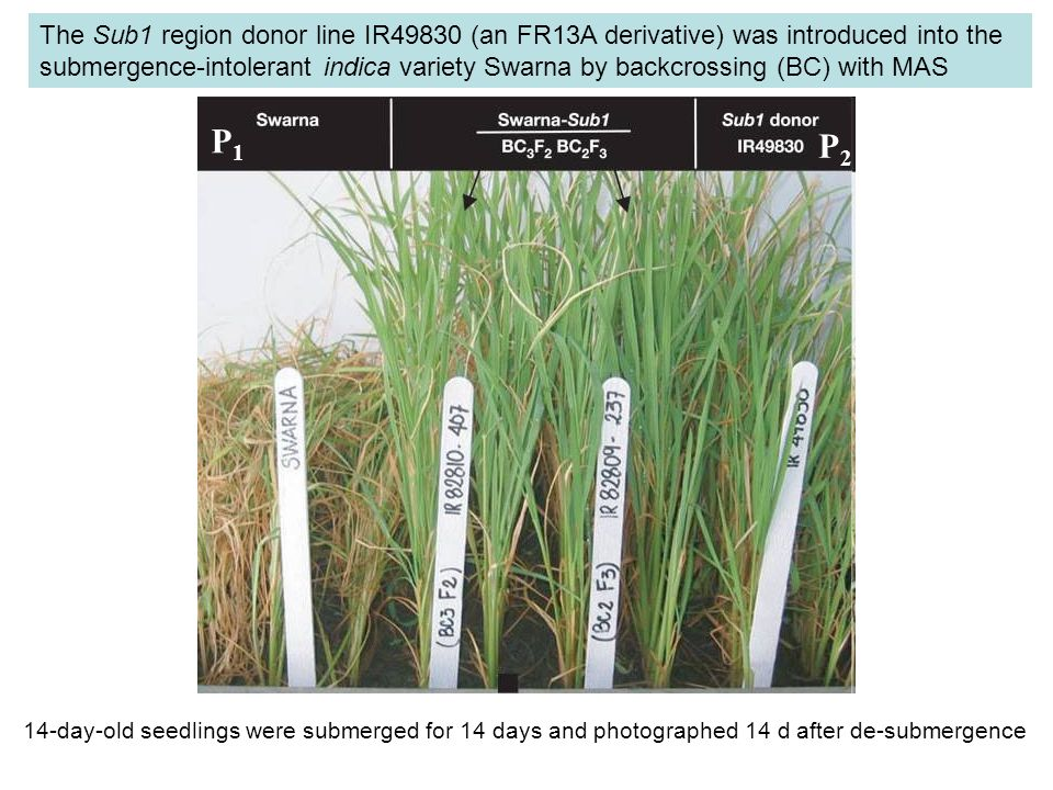 The Sub1 region donor line IR49830 (an FR13A derivative) was introduced into the submergence-intolerant indica variety Swarna by backcrossing (BC) with MAS