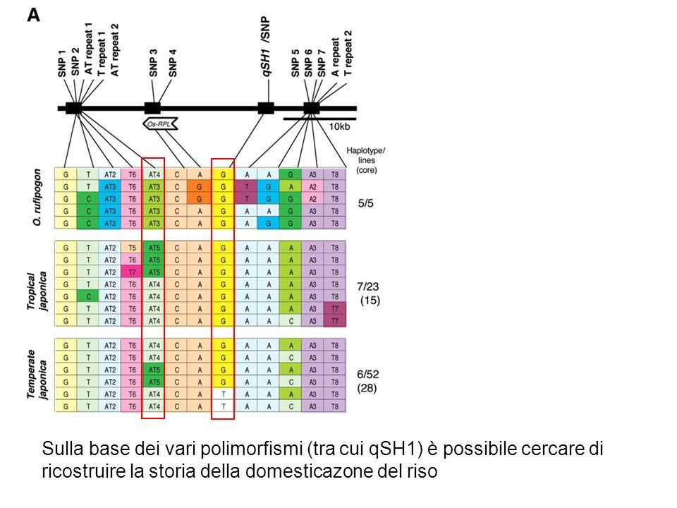 Sulla base dei vari polimorfismi (tra cui qSH1) è possibile cercare di ricostruire la storia della domesticazone del riso