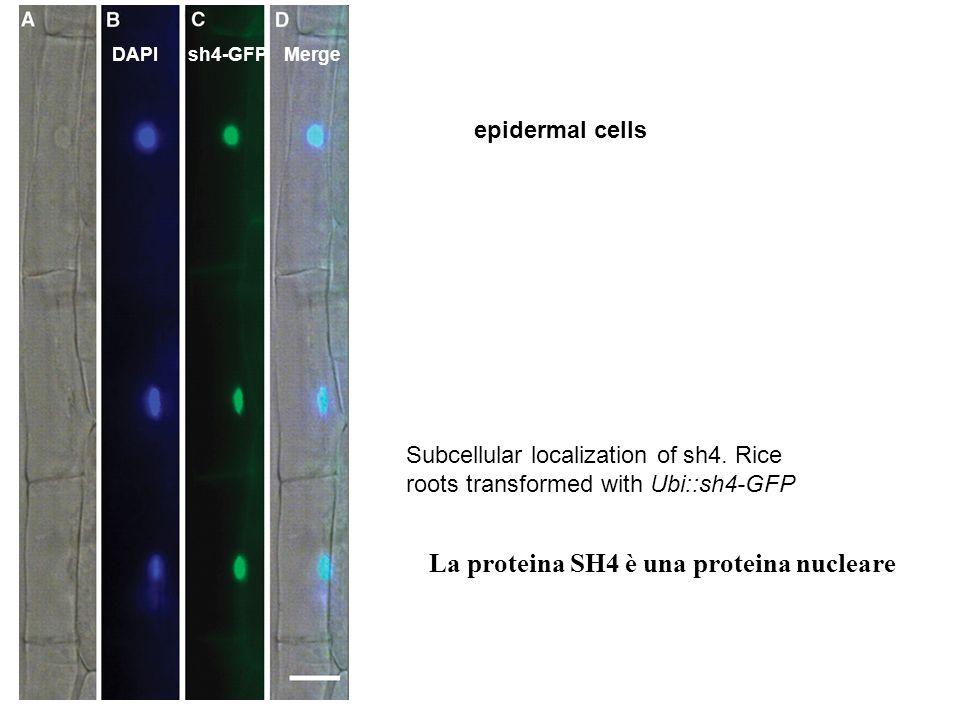 La proteina SH4 è una proteina nucleare