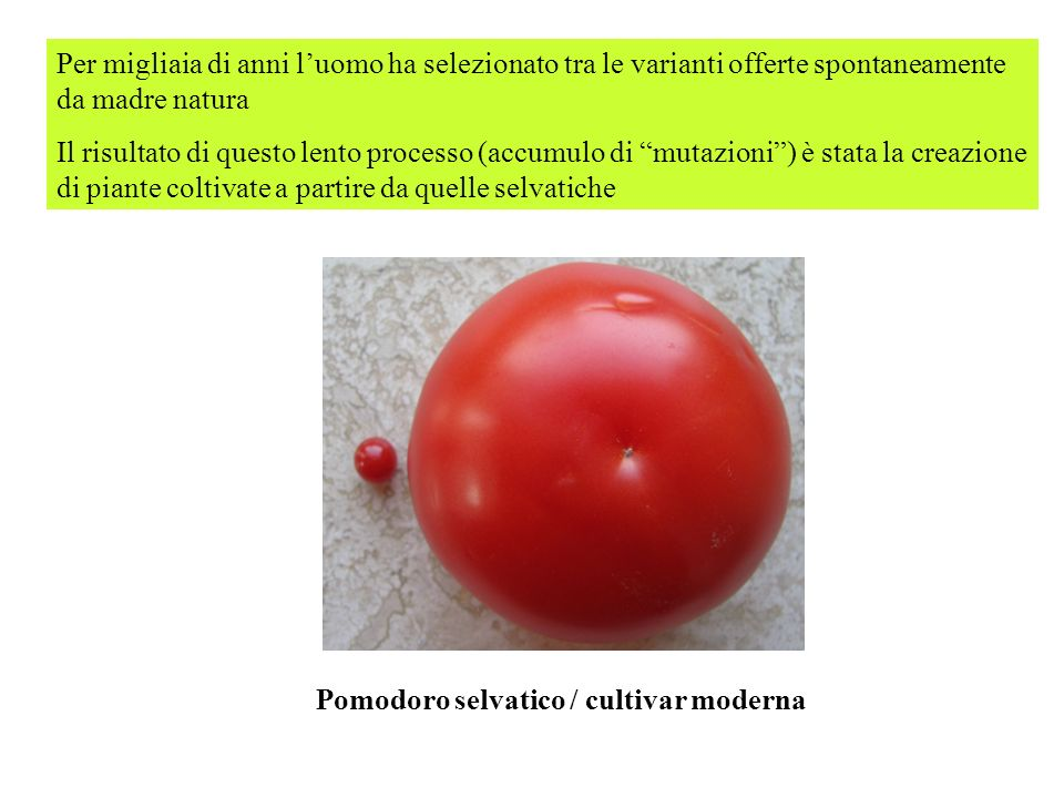 Pomodoro selvatico / cultivar moderna