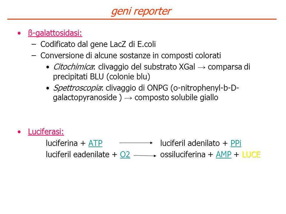 geni reporter ß-galattosidasi: Codificato dal gene LacZ di E.coli