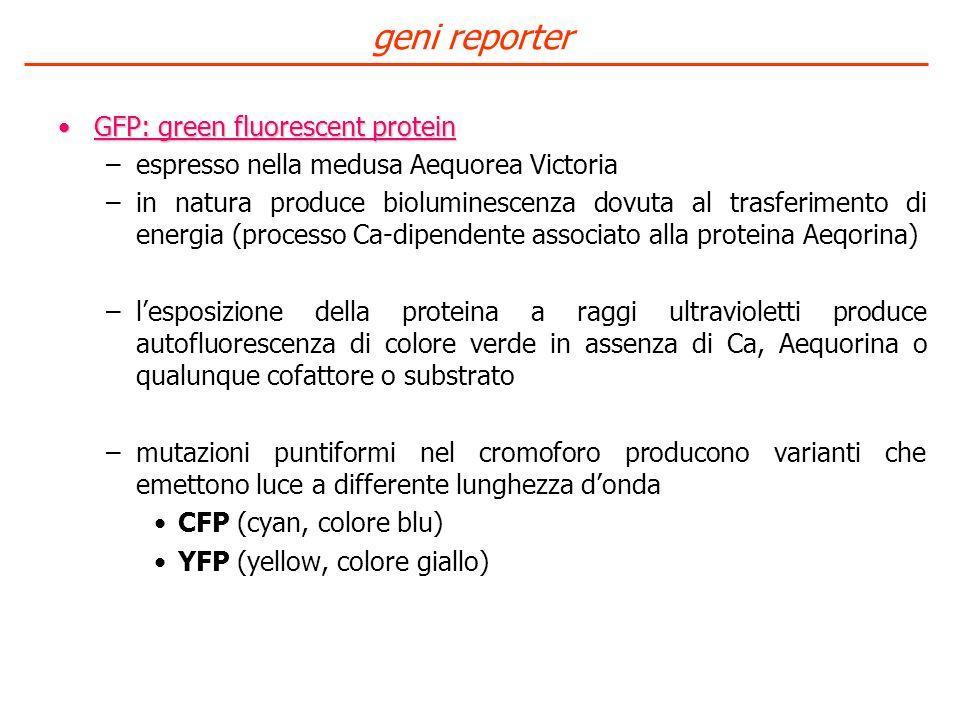 geni reporter GFP: green fluorescent protein