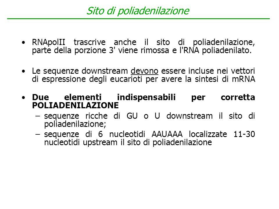 Sito di poliadenilazione