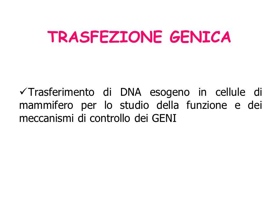 TRASFEZIONE GENICA Trasferimento di DNA esogeno in cellule di mammifero per lo studio della funzione e dei meccanismi di controllo dei GENI.
