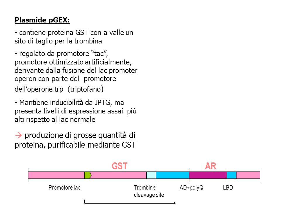 Plasmide pGEX: contiene proteina GST con a valle un sito di taglio per la trombina.
