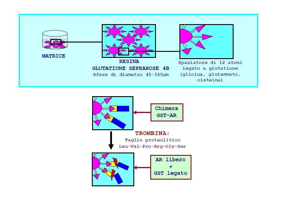 TROMBINA: MATRICE RESINA GLUTATIONE SEPHAROSE 4B Chimera GST-AR