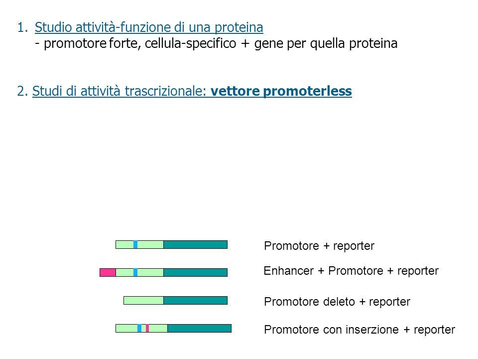 2. Studi di attività trascrizionale: vettore promoterless