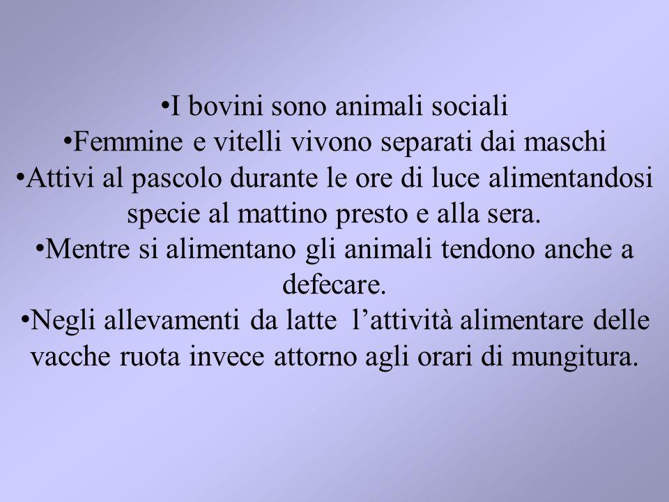 I bovini sono animali sociali