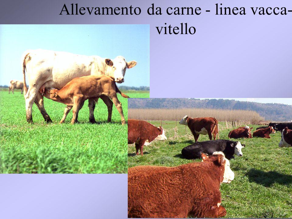 Allevamento da carne - linea vacca-vitello