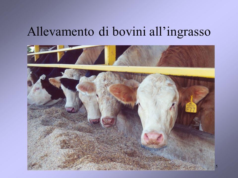 Allevamento di bovini all'ingrasso