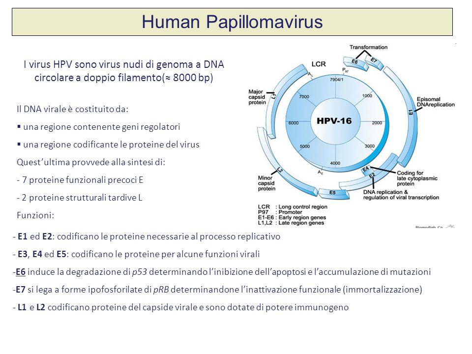 Human Papillomavirus I virus HPV sono virus nudi di genoma a DNA circolare a doppio filamento(≈ 8000 bp)