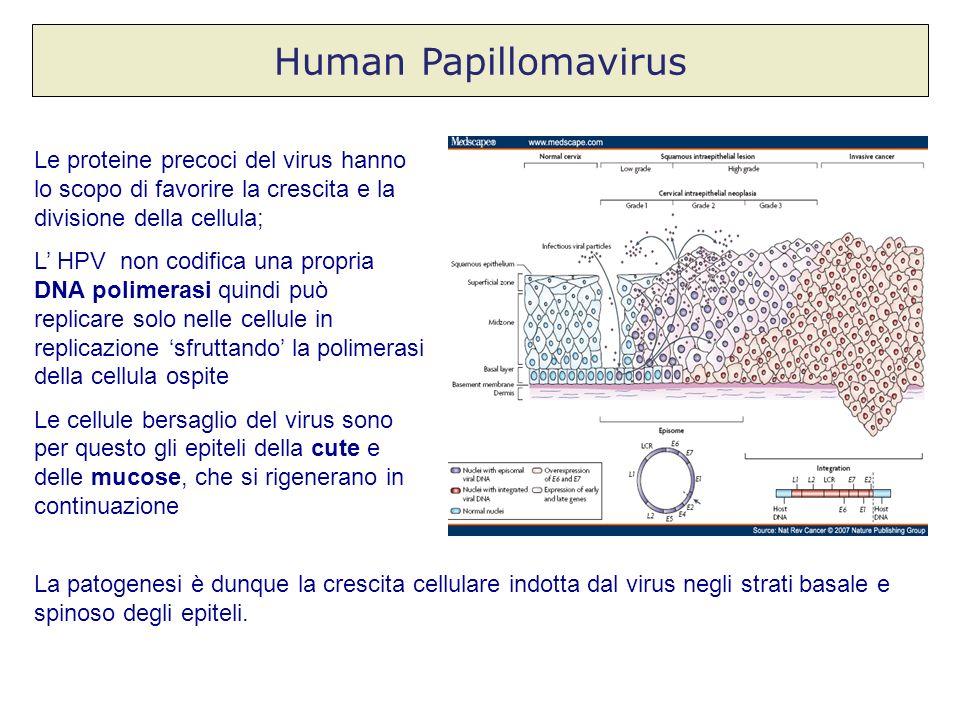 Human Papillomavirus Le proteine precoci del virus hanno lo scopo di favorire la crescita e la divisione della cellula;