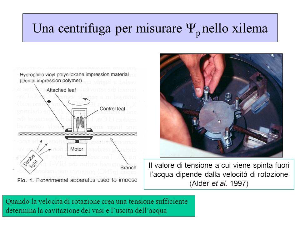 Una centrifuga per misurare Ψp nello xilema