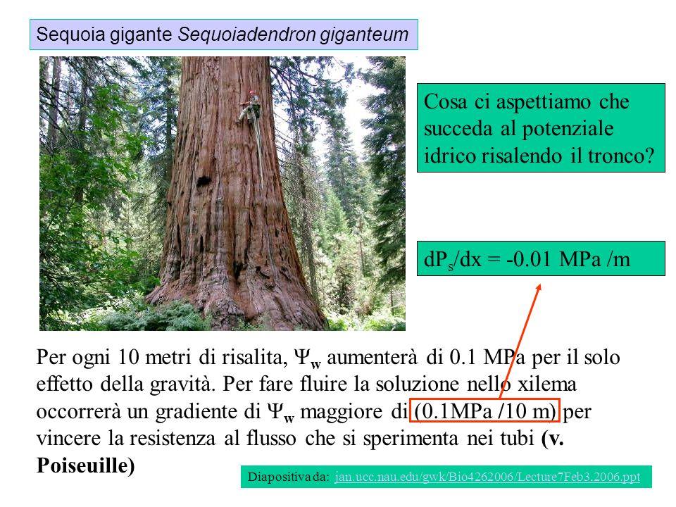 Sequoia gigante Sequoiadendron giganteum