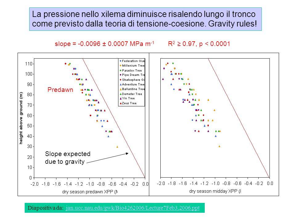 La pressione nello xilema diminuisce risalendo lungo il tronco come previsto dalla teoria di tensione-coesione. Gravity rules!