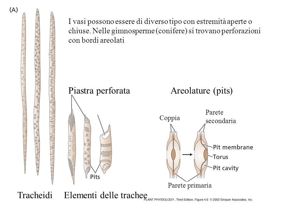 Elementi delle trachee