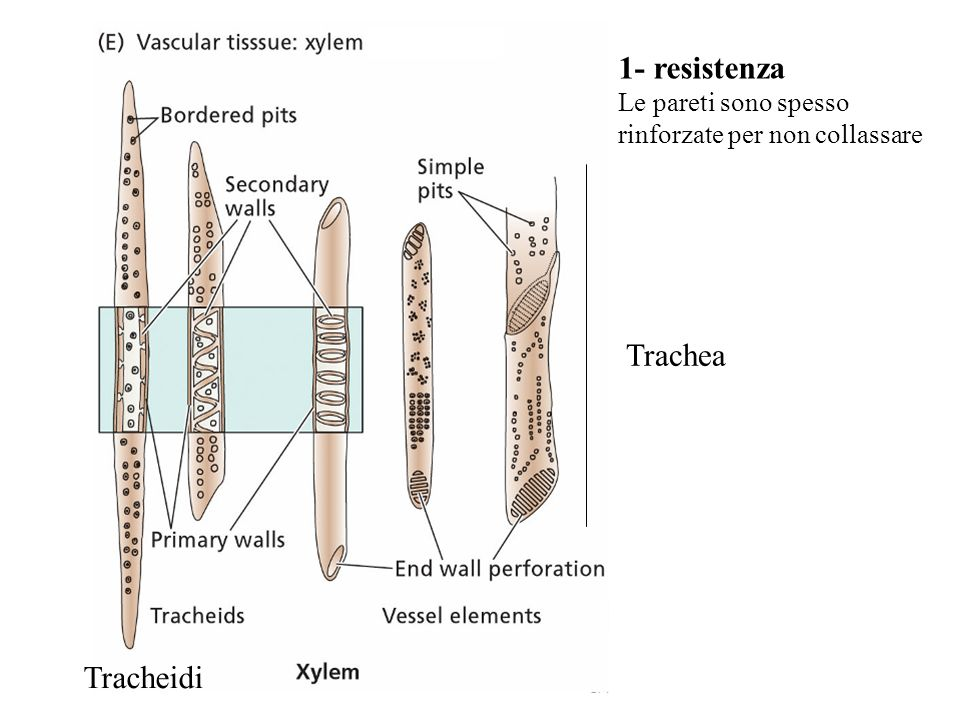 1- resistenza Trachea Tracheidi