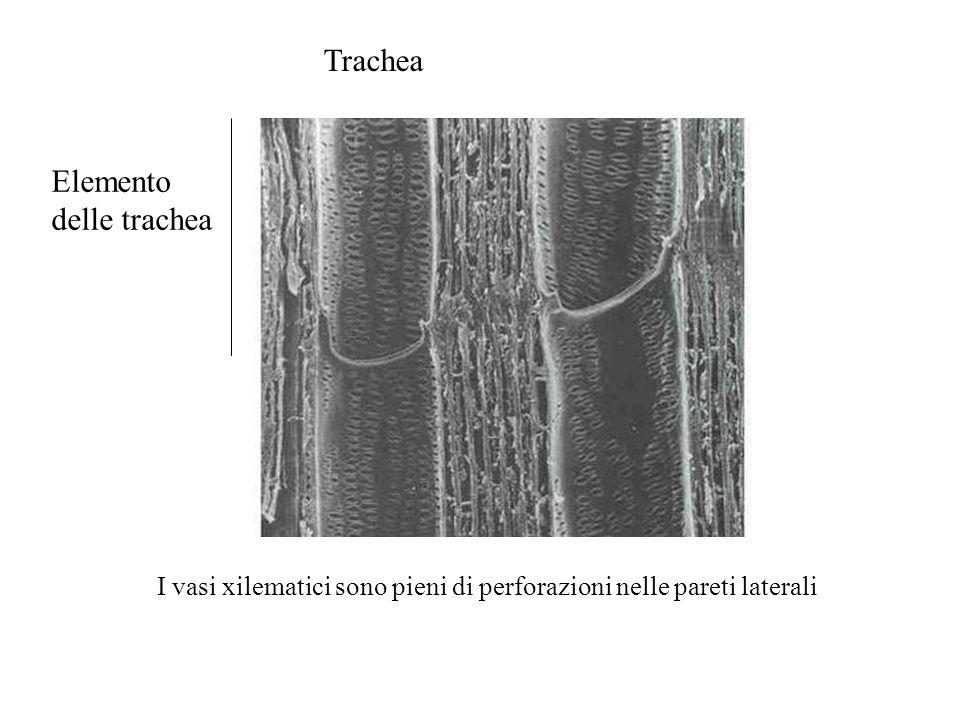 Elemento delle trachea