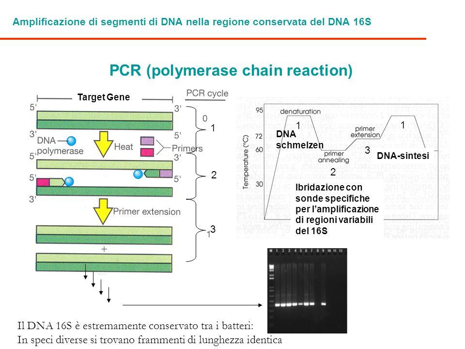 Amplificazione di segmenti di DNA nella regione conservata del DNA 16S