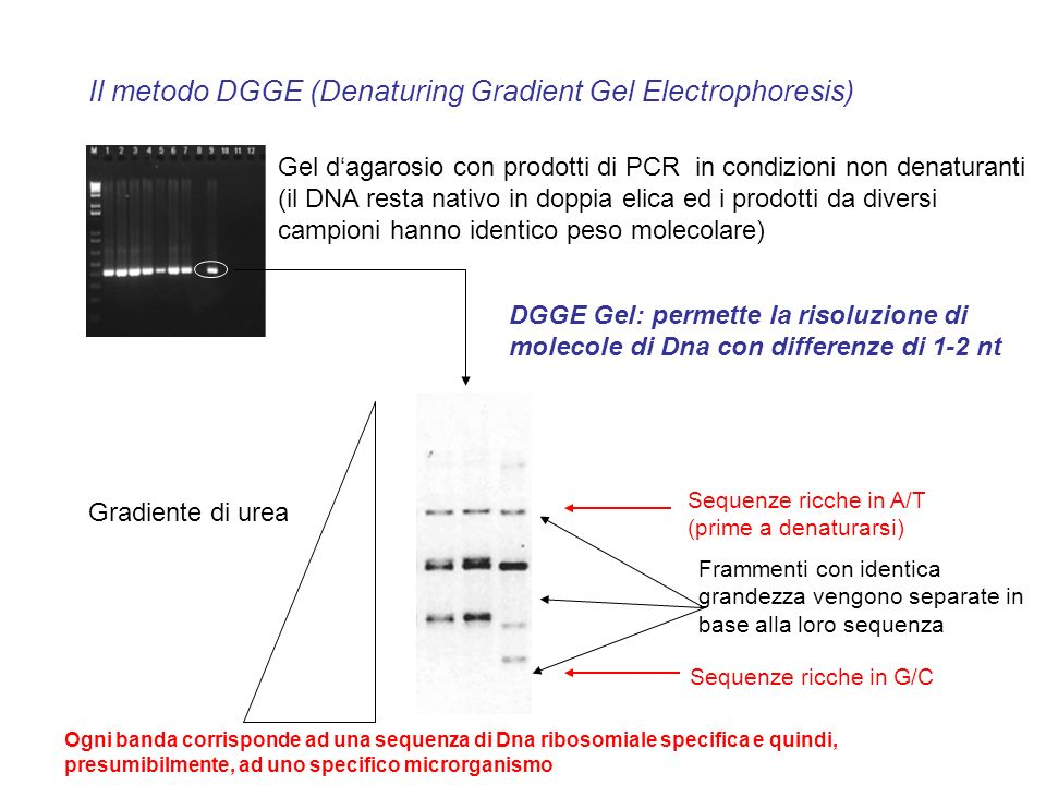 Il metodo DGGE (Denaturing Gradient Gel Electrophoresis)