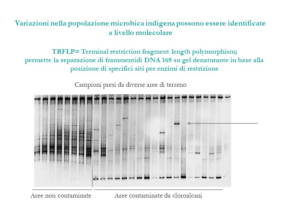TRFLP= Terminal restriction fragment length polymorphism;