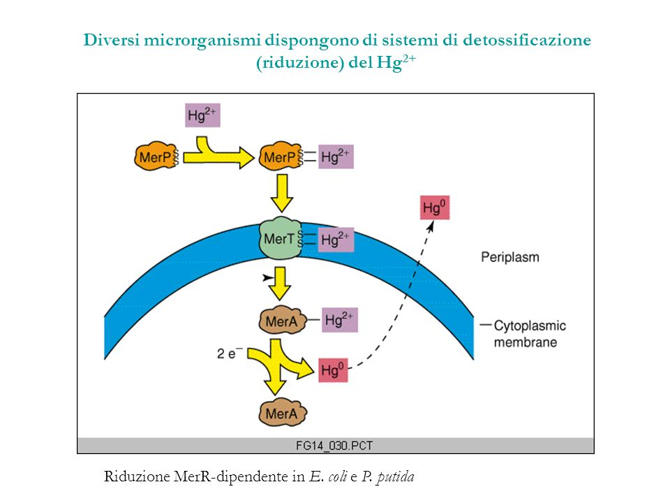 Diversi microrganismi dispongono di sistemi di detossificazione