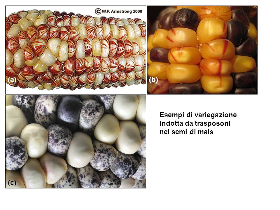 Esempi di variegazione indotta da trasposoni nei semi di mais