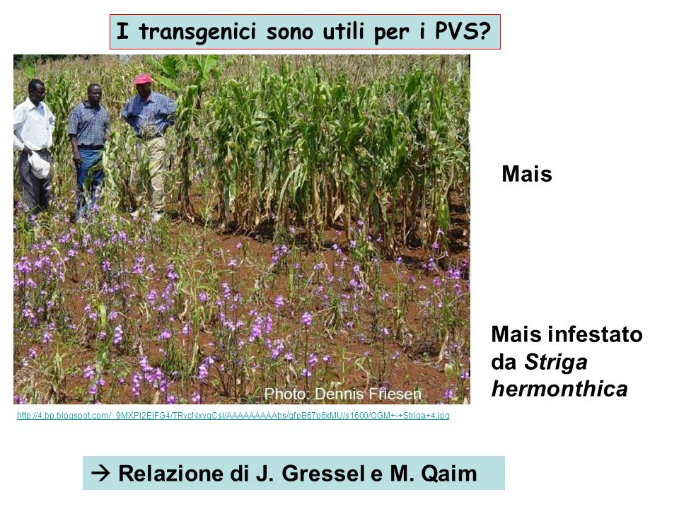 I transgenici sono utili per i PVS