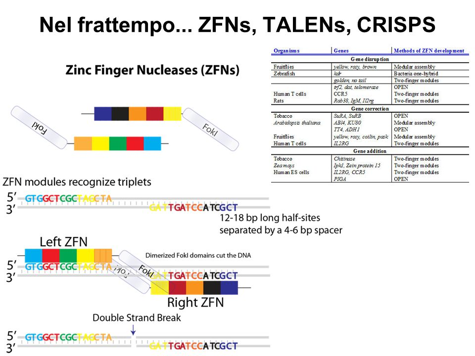 Nel frattempo... ZFNs, TALENs, CRISPS