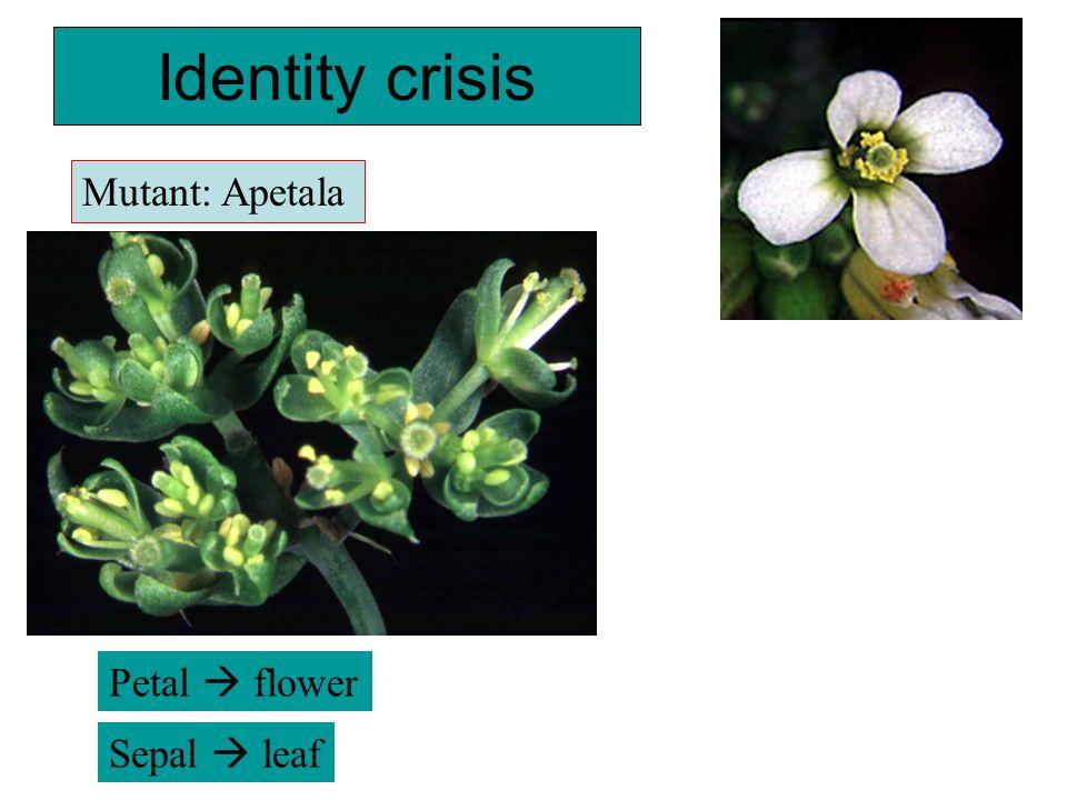 Identity crisis Mutant: Apetala Petal  flower Sepal  leaf