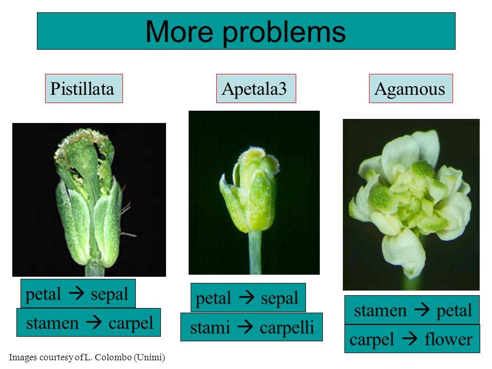More problems Pistillata Apetala3 Agamous petal  sepal petal  sepal