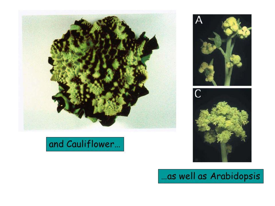 and Cauliflower… …as well as Arabidopsis
