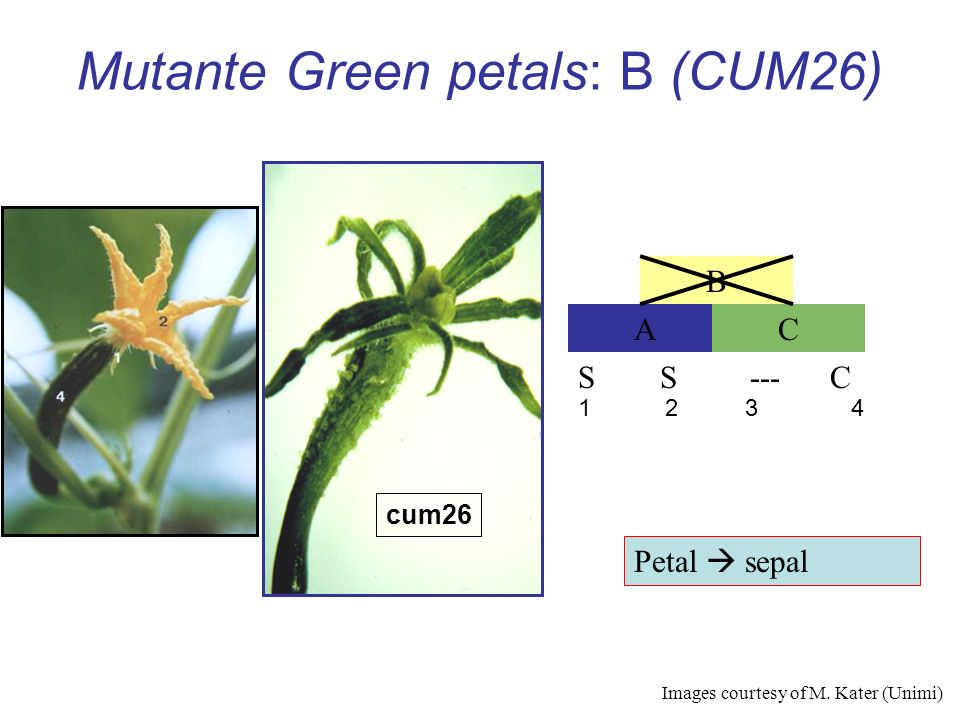 Mutante Green petals: B (CUM26)