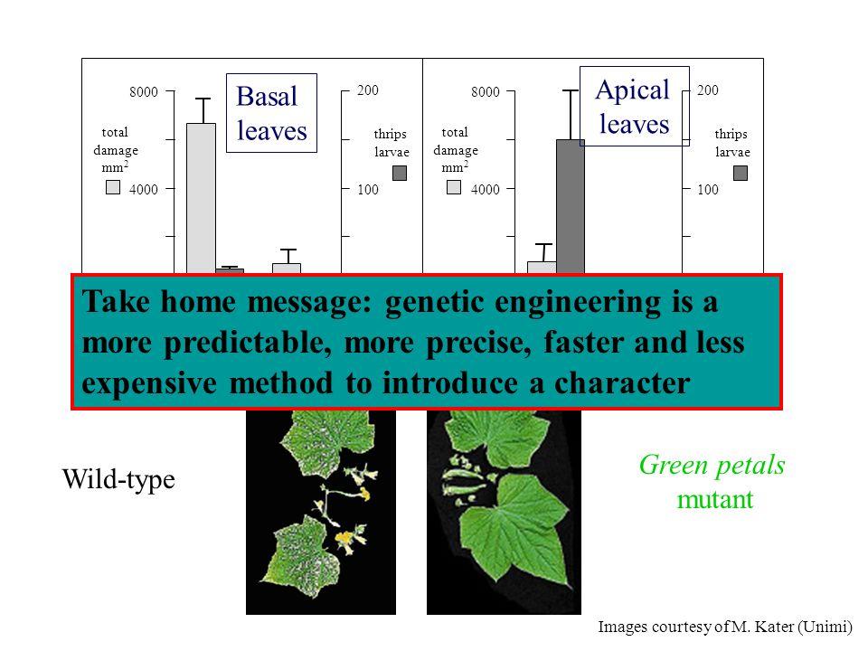 total damage. mm2. thrips. larvae. wt. gp mutant. 8000. 4000. 200. 100. C. D. Basal. leaves.