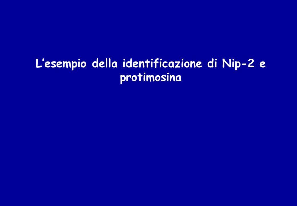 L'esempio della identificazione di Nip-2 e protimosina