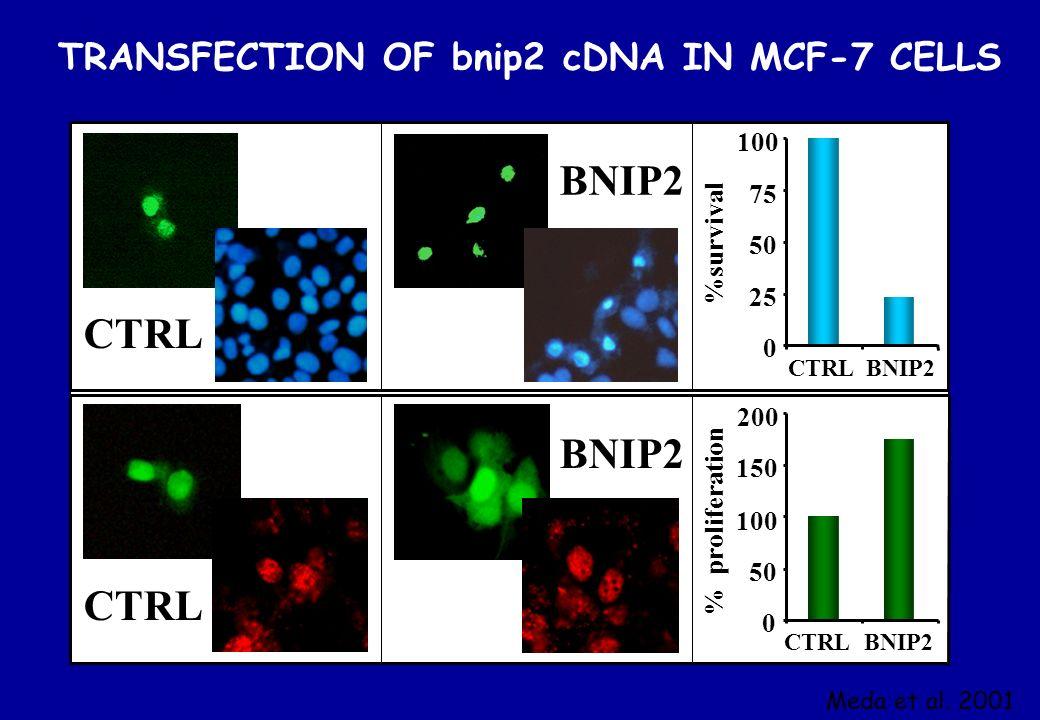 BNIP2 CTRL TRANSFECTION OF bnip2 cDNA IN MCF-7 CELLS 100 75 %survival