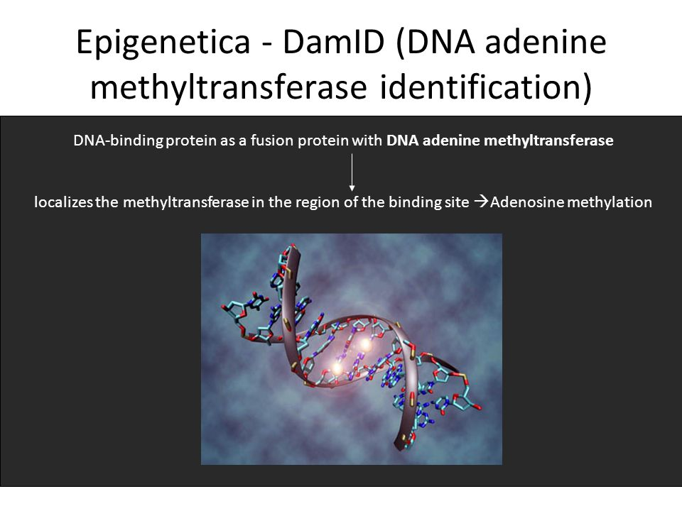 Epigenetica - DamID (DNA adenine methyltransferase identification)