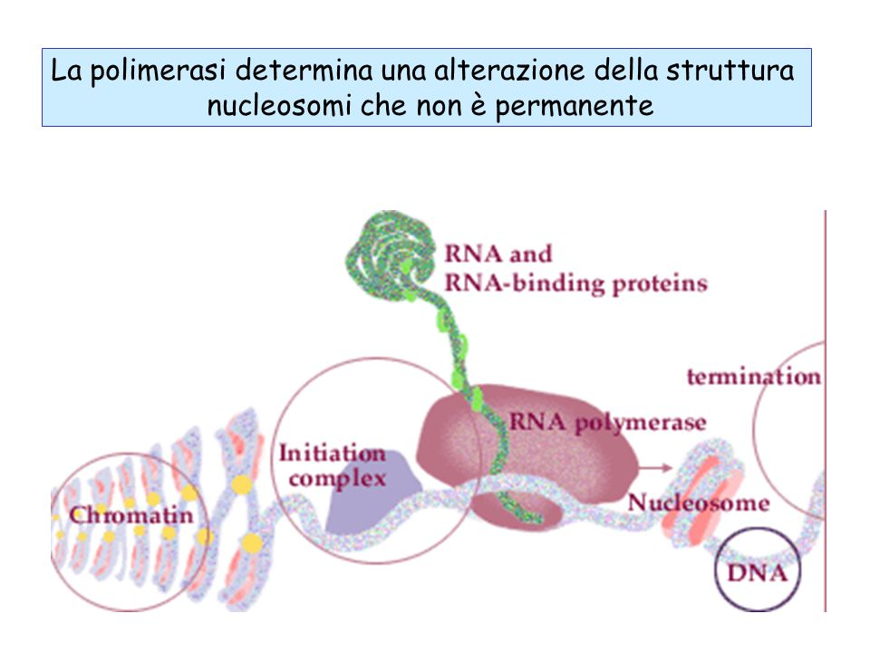 La polimerasi determina una alterazione della struttura